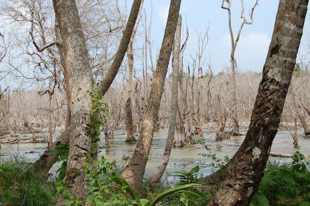 A wilting mangrove forest on Car Nicobar, destroyed by the Asian Tsunami in 2004. -  Malini Shankar/IPS